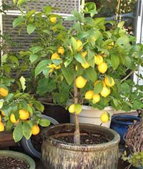 limoni in vaso consigli di gennaio per piante e giardino verdeblog
