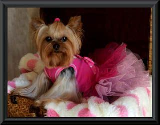 teacup yorkies for sale in kansas 17 best ideas about yorkie puppies on yorkie adorable puppies and dogs