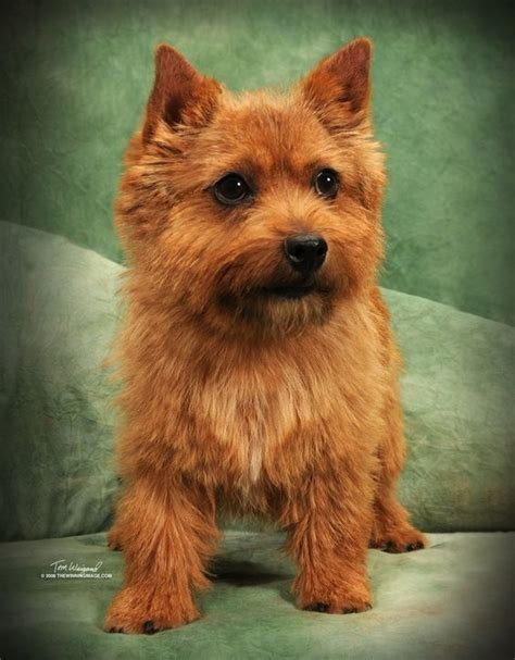 norwich terrier puppies for sale norwich terrier puppies for sale puppies for sale norwich terriers in dayton