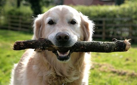 where can i play with puppies fetch with sticks can harm dogs vets warn telegraph