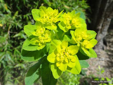 Design For Cushion Spurge Ideas Design For Cushion Spurge Ideas 25998