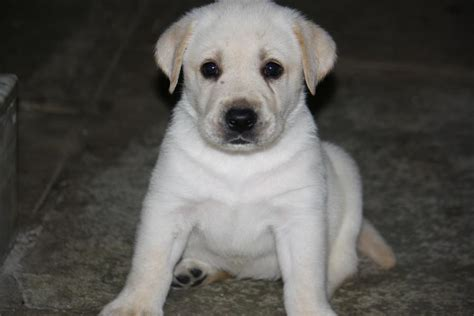 labrador puppies price labrador puppies price free hd pictures images and wallpapers