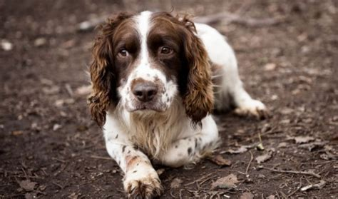 springer spaniel puppies for adoption ready for adoption images of ready for breeds picture