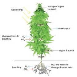 Do Aloe Plants Need Sunlight what is a marijuana plant the weed blog