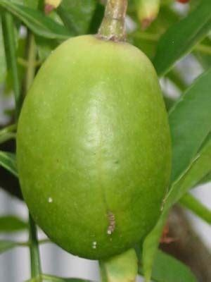 guyana fruit trees 19 best images about guyanese fruits on pork