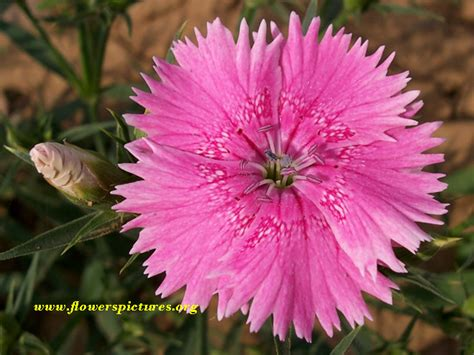 images flowers pink dianthus flower pictures