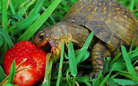 alimentazione tartarughe terrestri cosa mangiano le tartarughe terrestri