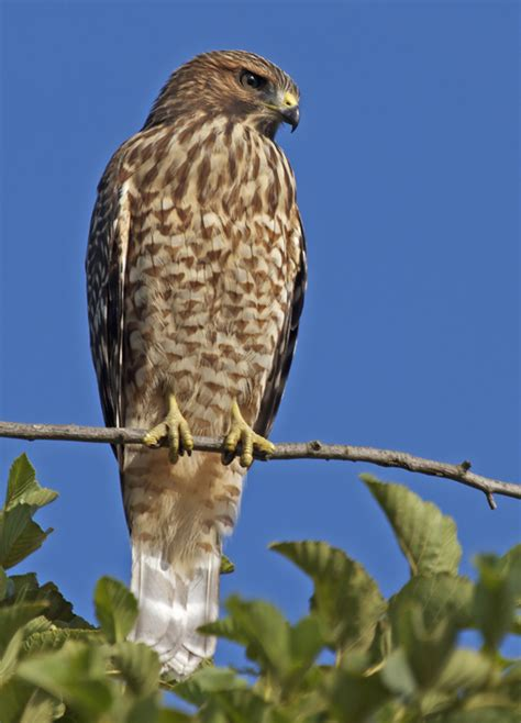 gallery for gt juvenile red shouldered hawk