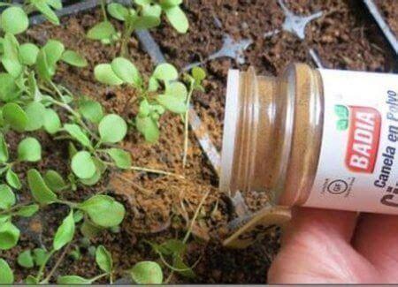 Zimt Gegen Pilze Im Garten by Was Geschieht Wenn Du Deine Pflanzen Mit Zimt Quot W 252 Rzt