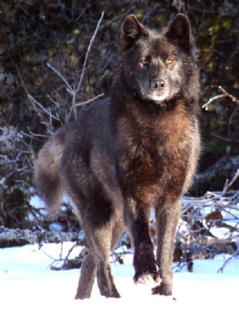 alaskan wolf some suspect ex local killed beloved alaskan wolf news lancasteronline