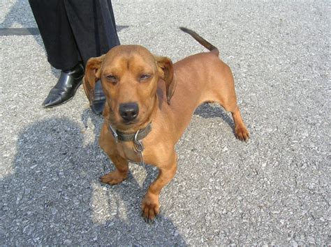 puppies that need a home for free dachshund in need of home toledo dogs for sale puppies for sale toledo 384363