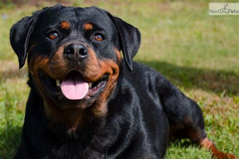 free puppies syracuse ny heads rottweiler puppy for sale near syracuse new york 8dd3b3cf d3b1