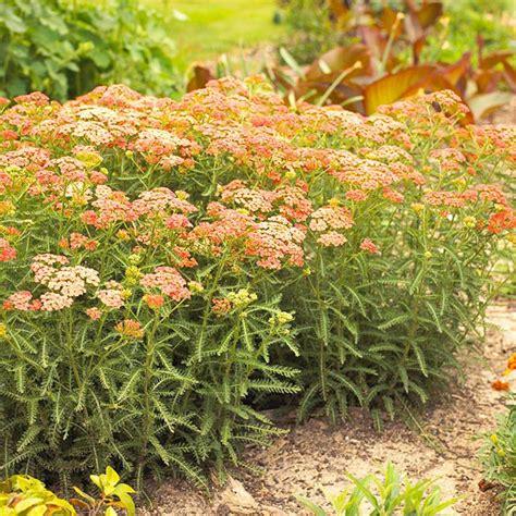 best 25 zone 9 gardening ideas on pinterest perennials