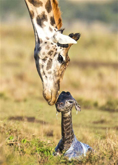 google imagenes de jirafas image gallery jirafas bebes