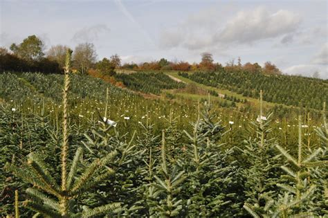 christmas tree farm sussex trees for sale near brighton crawley haywards heath sussex treessussex trees