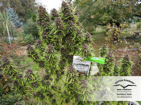 backyard grow frisian dew 174 outdoor cannabis seeds buy safely from