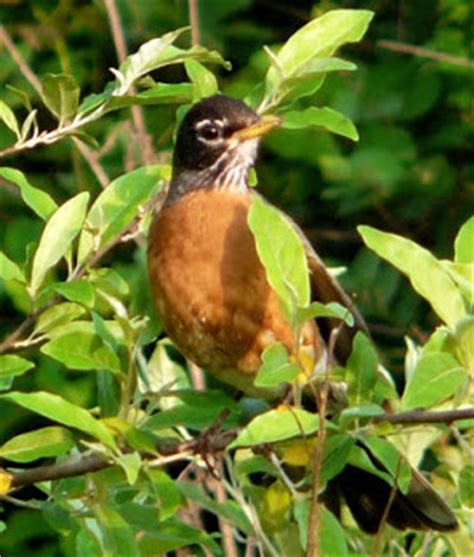 which birds that sing in the morning birds unlimited june 2012