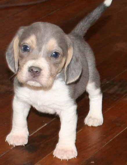 free puppies portland oregon dogs portland or free classified ads