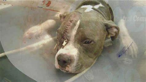 puppy beaten needs new home after being beaten nearly to