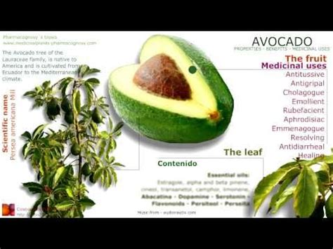 Detox Meaning In Telugu by Avocado What Is Avocado Health Benefits Of Avocado Tree