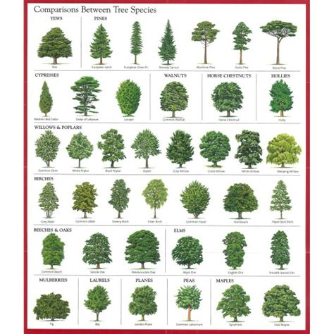 types of trees comparisons between tree species good education pinterest