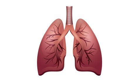images of the respiratory system science shorts