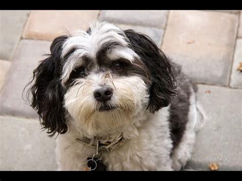 bichon havanese dogs 101 bichon havanez funnycat tv