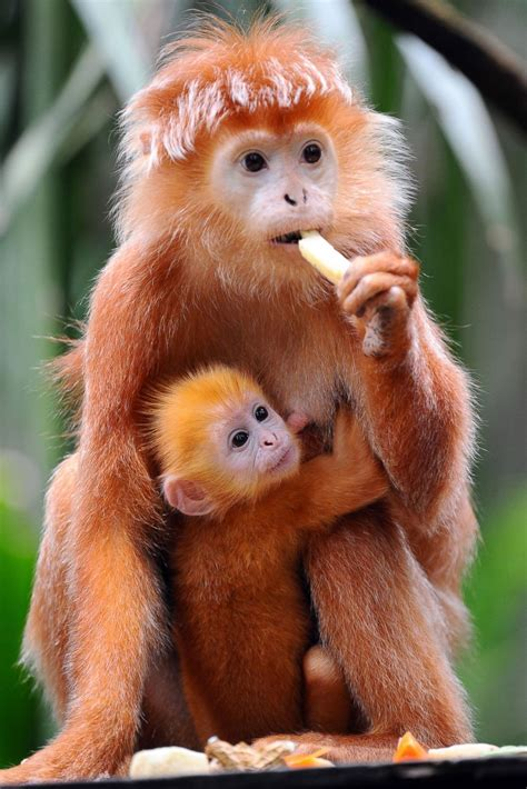 hold  tight baby monkey clutches  mom picture cutest baby animals    world