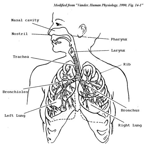 drawing systems human respiratory system line diagram human anatomy