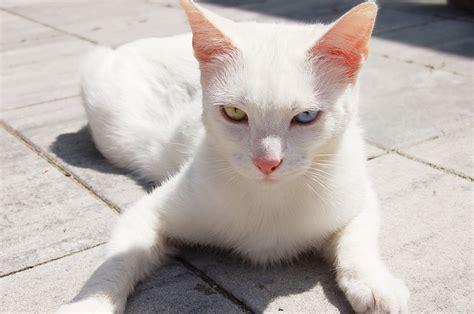Hug Putih cat white heterochromia 183 free photo on pixabay