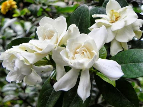 Gardenia Flowers | romantic flowers gardenia flower