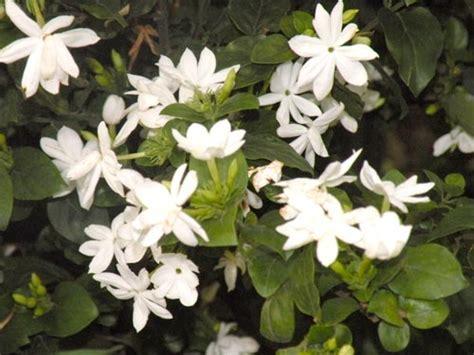 Pupuk Untuk Bunga Kenanga bunga cara menanam dan teknik budidaya tanaman