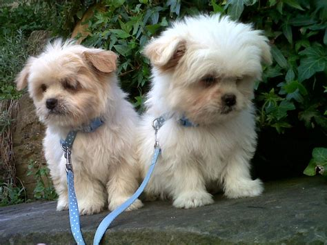 beautiful puppies beautiful lha chi puppy ready now one left lydney gloucestershire pets4homes