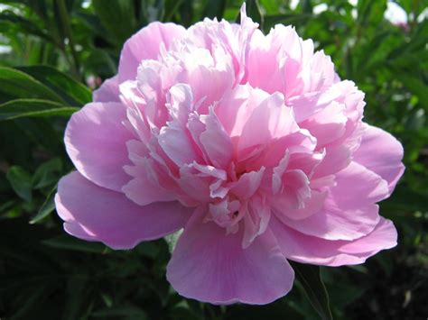 romantic flowers peony flower