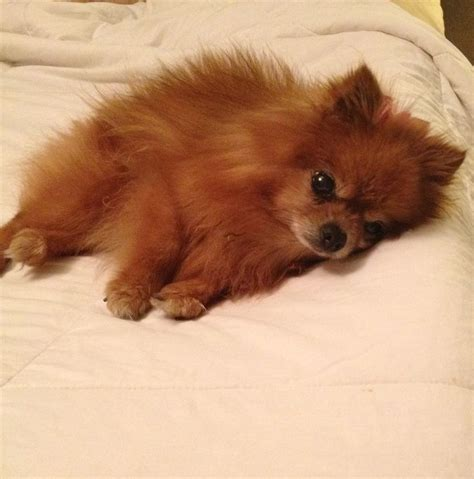 what are pomeranians 300 best images about pomeranians on