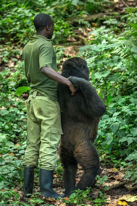 female gorilla copies  glum keeper  central africa