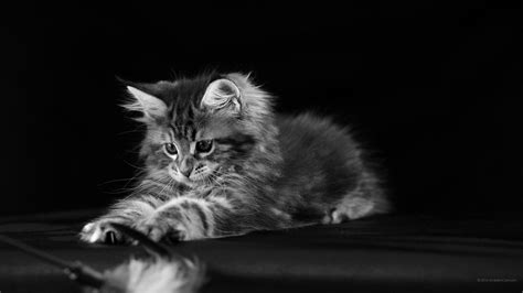 imagenes en blanco y negro gatitos 2560 x 1440 en blanco y negro hermosos fondos de pantalla