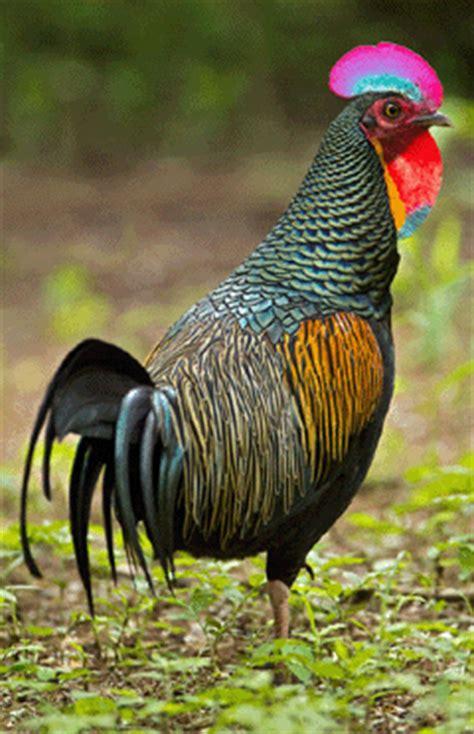 Bulu Ayam Ungu Muda 21 provinsi jawa timur