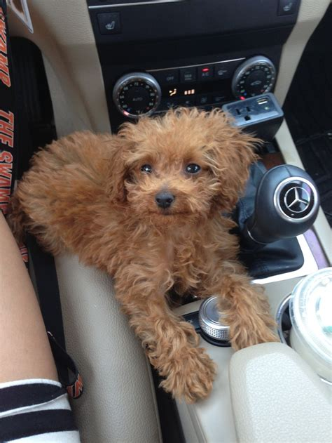 lifespan of teacup poodle micro teacup poodle 2lbs rhemington
