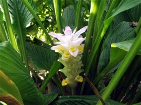 Kunyit Putih Bubuk Curcuma Zedoaria 鬱金 ウコン 古来 日本で染料 生薬として利用されている植物まとめ naver まとめ