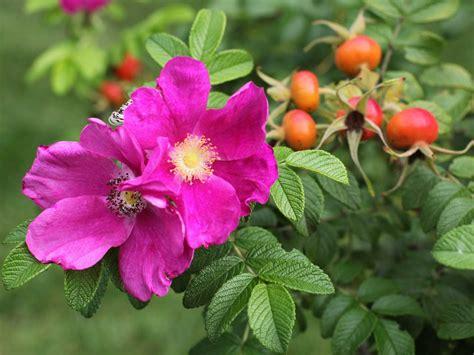 Growing wild roses   Saga