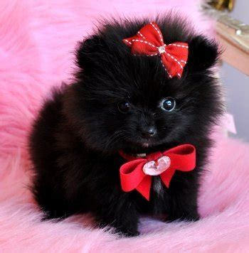 solid black pomeranian beautiful solid black pomeranian puppy email angiemckenzi522 g for sale adoption from