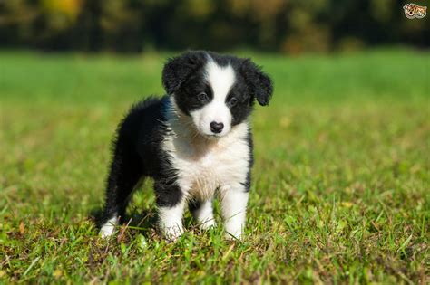 border collie puppies border collie breed information buying advice photos and facts pets4homes