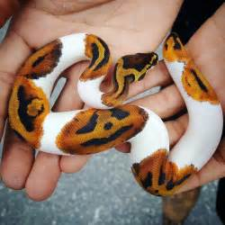 a beautiful piebald python with an amazing o