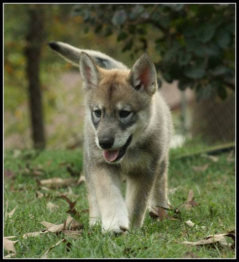 wolfdog puppies persephone the wolf puppy by greensh on deviantart