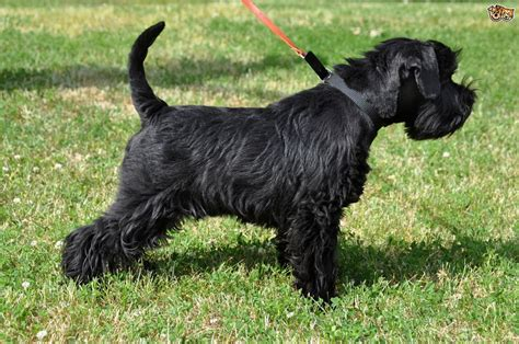 miniature schnauzer dog breed information buying advice