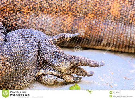 foot  komodo dragon stock image image  monitor