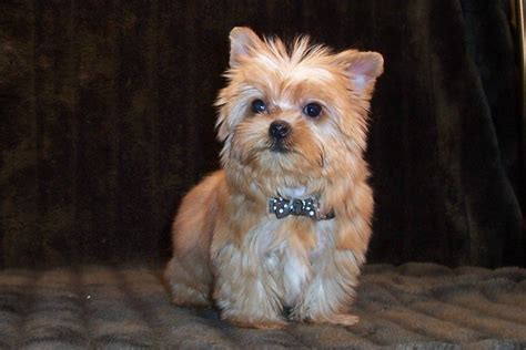 dogs similar to yorkies golden yorkies for sale breeds picture