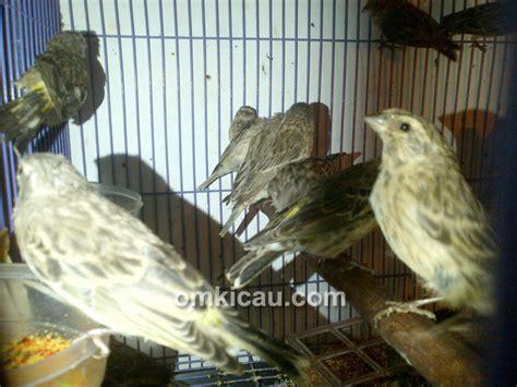 Sarang Burung Finch Kenari Dan Sejenisnya pasokan eropa menyusut nano canary datangkan kenari dan finch dari afrika klub burung