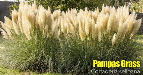 pampas grass   grow  care  cortaderia selloana